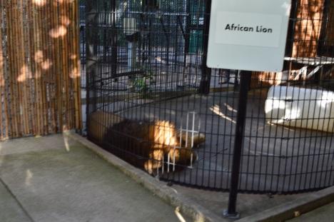 lagoon-lion-cage