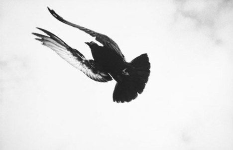 bird-black-and-white-flying-photography-sky-Favim.com-49719